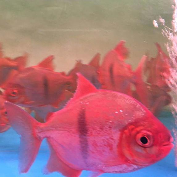 神木玫瑰银版鱼 神木水族新品 神木水族批发市场第3张