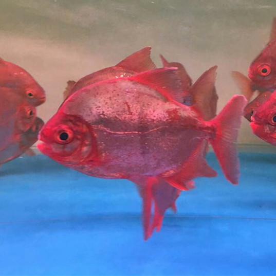 神木玫瑰银版鱼